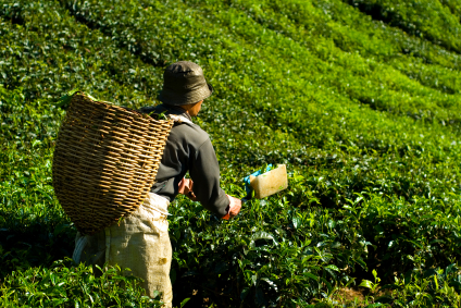 English Lesson - Climate Change Impacts India's Tea ...
